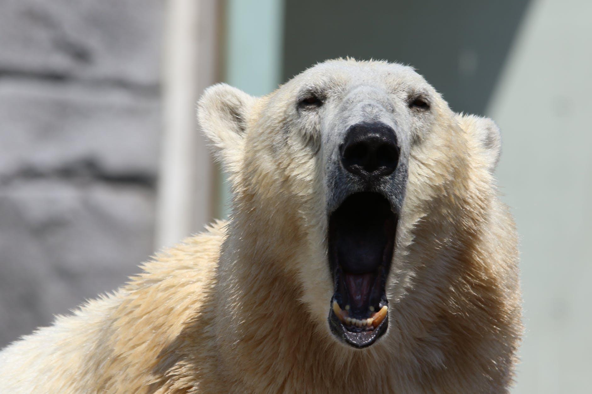 animal bear bored close up